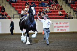 Danny, Best of Show at the 2015 Calgary Stampede Heavy Horse Show.