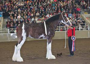 Anderson's Ovation, Best of Show, World Champion Mare, Champion America Bred Mare